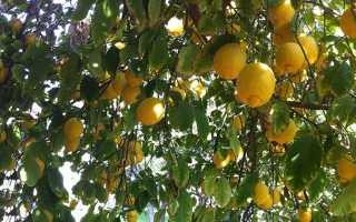 БЖУ лимона