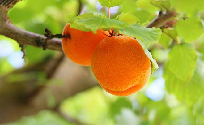 gi-abrikosa