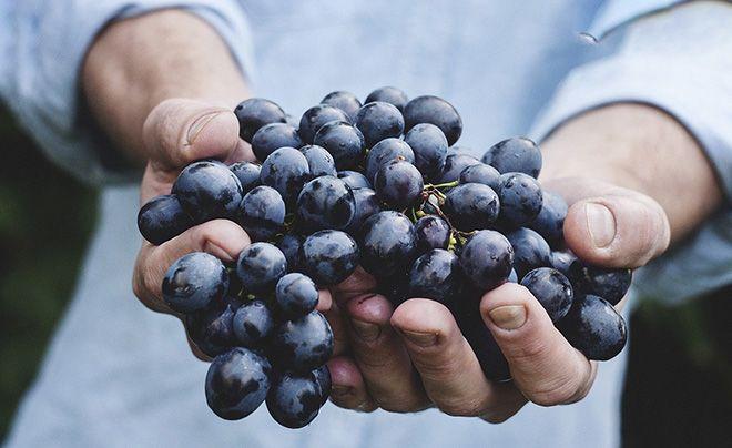 o-polze-vinograda