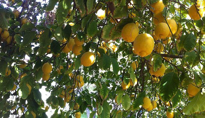 roda-citrus